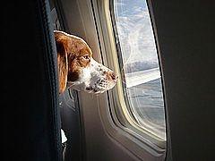 วิธีการนำสุนัขขึ้นเครื่องบินเพื่อเดินทางภายในประเทศ และต่างประเทศ